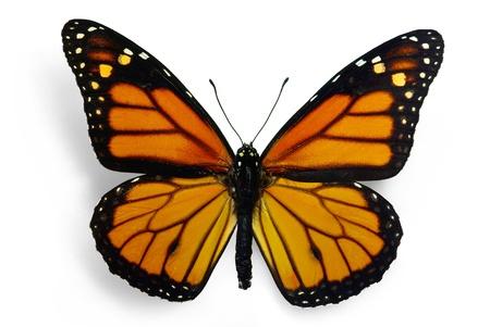 mariposas volando: Monarca (Danaus plexippus), una mariposa migrante