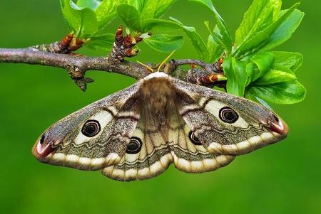 silkmoth Saturnia pavoniella, female