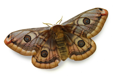mimetism: silkmoth Saturnia pavoniella, female isolated on white