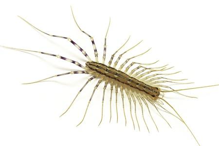 House centipide (Scutigera coleoptrata) isolated on white background