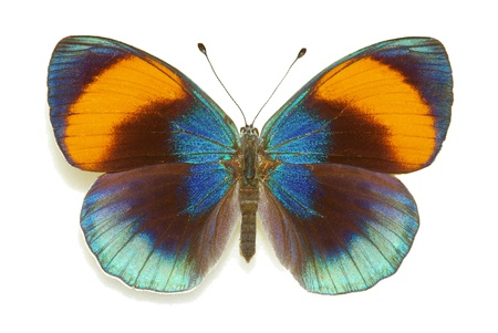 Asterope sapphira (Nymphalidae), female from Brazil Stock Photo - 12408723
