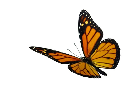 white butterfly: Monarch (Danaus plexippus), a migrant butterfly