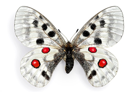The Apollo (Parnassius apollo), a protected European butterfly