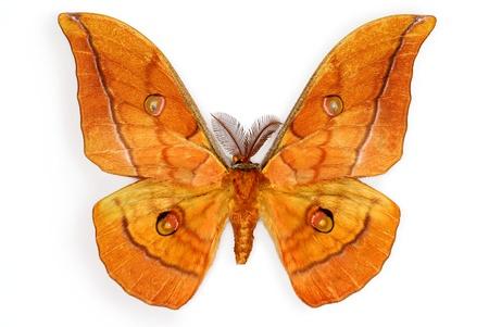 introduced: Los japoneses Silk Moth Antheraea yamamai, introducido en Europa para la producci�n de seda