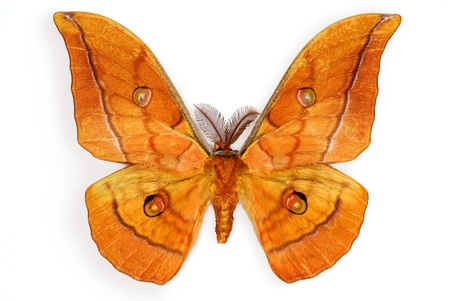 mimetism: The Japanese Silk Moth Antheraea yamamai, introduced in Europe for silk production