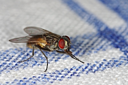 House fly (Musca domestica) on a table-cloth