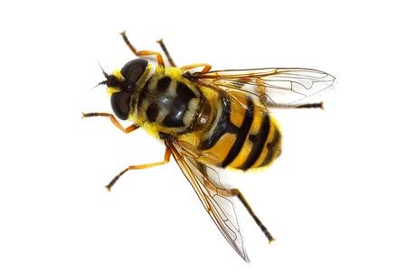 ホバー フライ Myathropa florea (ハナアブ) 蜂をシミュレートします。 写真素材