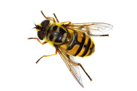 hover fly Myathropa florea (Syrphidae), simulating a bee