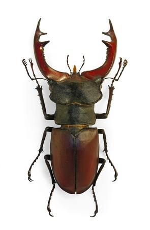 European stag beetle (Lucanus cervus), an endangered species