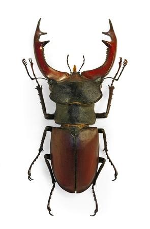 European stag beetle (Lucanus cervus), an endangered species