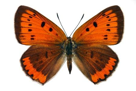大規模な銅 (ホソオアゲハ区) の女性ヨーロッパで保護されている絶滅危惧種の蝶