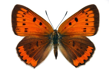 Female of Large Copper (Lycaena dispar), endangered butterfly protected in Europe