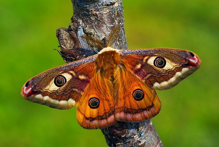 mimetism: Male of the european silkmoth Saturnia pavoniella Stock Photo