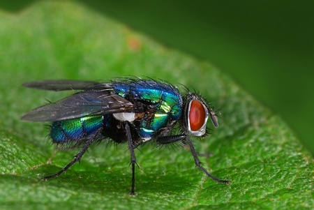 Green bottle-fly  Lucilia sp