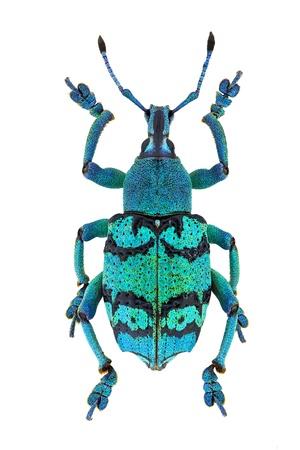 白い背景で隔離された熱帯アジア (Eupholus schoenherri) から紺碧ゾウムシ甲虫