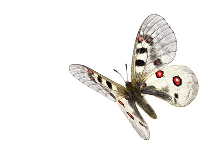 white butterfly: Small Apollo (Parnassius phoebus) in flight isolated on white background