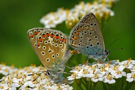 common blue (Polyommatus icarus) mating on Achillea flowers, Italy