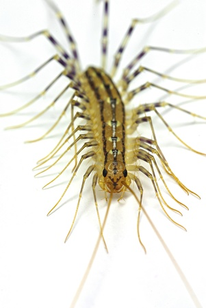 House centipide (Scutigera coleoptrata) isolated on white background