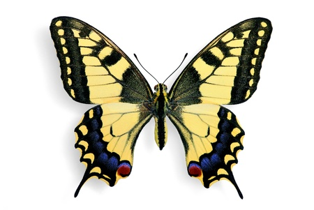 butterfly wings: Common swallowtail (Papilio machaon) isolated on white background Stock Photo