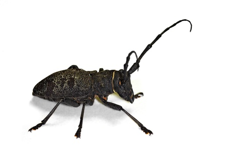 longhorn beetle Morimus asper Stock Photo