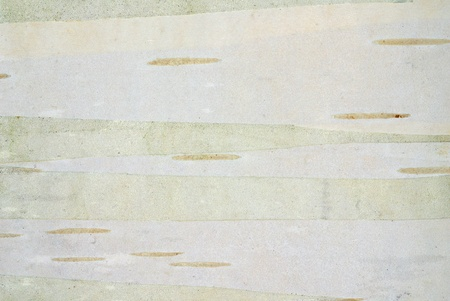 white birch bark background photo