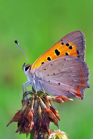 Small Copper (Lycaena phlaeas) Stock Photo