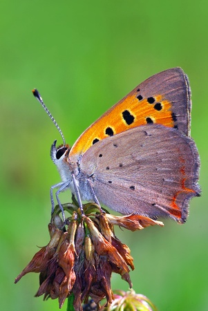 american butterflies:  Small Copper (Lycaena phlaeas) Stock Photo