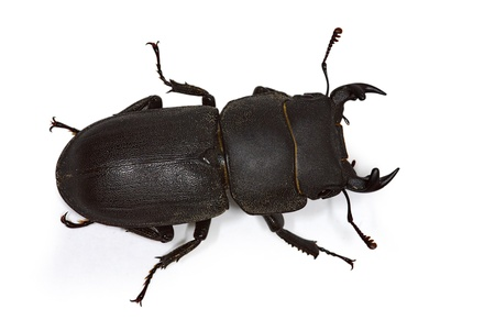 lesser stag beetle (Dorcus parallelipipedus) Stock Photo