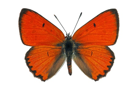 white butterfly: male Large Copper (Lycaena dispar), endangered european butterfly Stock Photo