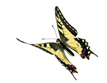 papilionidae: Common swallowtail (Papilio machaon) in flight, isolated on white background