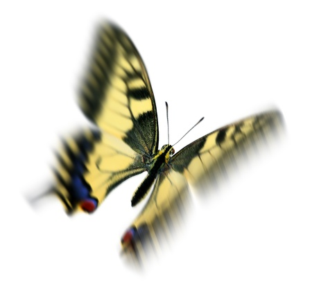 Common swallowtail (Papilio machaon) in flight, with motion blur, isolated on white background