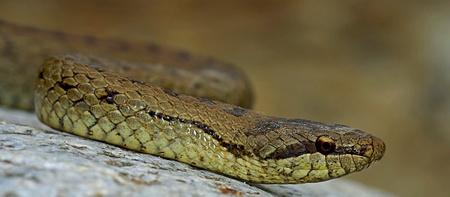 harmless smootj snake  Coronella austriaca