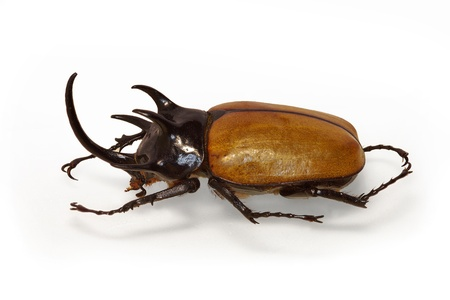Horned beetle Epatorus gracilicornis from Thailand Stock Photo