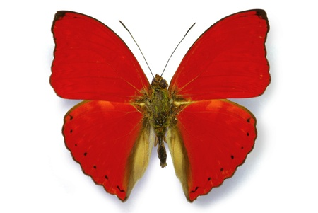 Red butterfly Cymothoe sangaris isolated with shadow Stock Photo