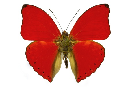 Red butterfly Cymothoe sangaris isolated without shadow