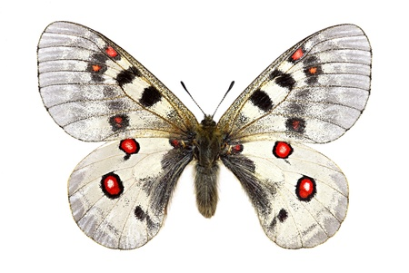 Small Apollo (Parnassius phoebus) isolated on white background photo
