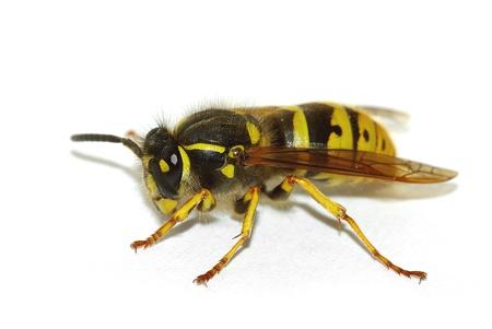 wasp (Vespula germanica)