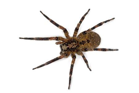スパイダー Zoropsis spinimana、白い背景で隔離 写真素材