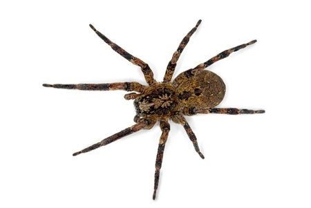 spider Zoropsis spinimana, isolated on white background