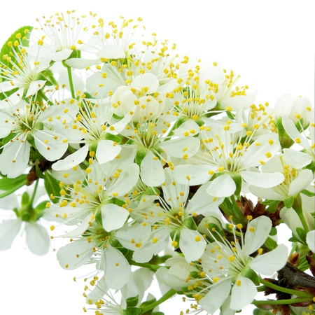 plum flowers merging with light background