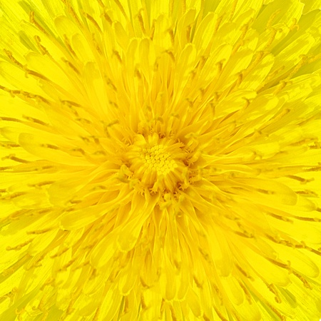 dandelion  Taraxacum  yellow flower detail