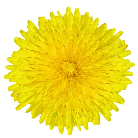 dandelion  Taraxacum  yellow flower isolated on white background