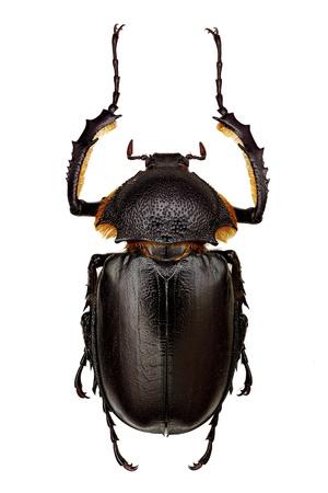 長い武装カブトムシ (Propomacrus bimucronatus) の男性の標本