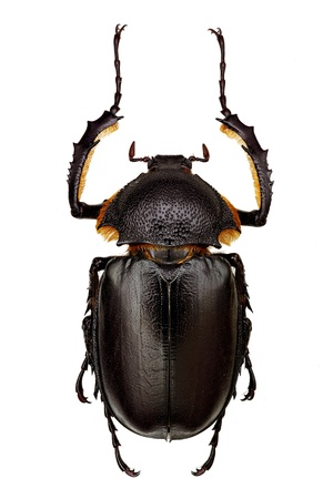 male specimen of long-armed beetle (Propomacrus bimucronatus) Foto de archivo