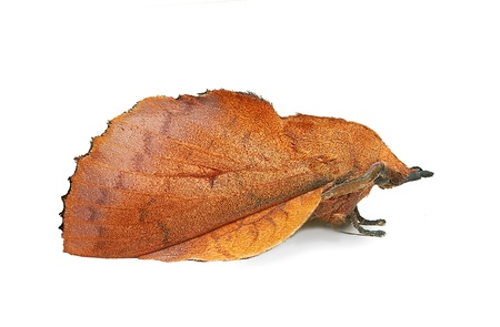 Lappet moth (Gastropacha quercifolia), imitating a dead leaf Stock Photo - 13291588
