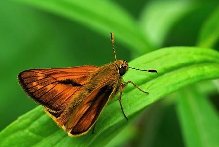 ochlodes: Ochlodes venatus (Hesperiidae) skipper perching on a leaf