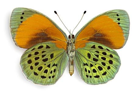 Asterope サッピラ (タテハチョウ科)、ブラジル、腹側から男性