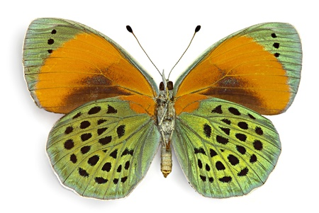 Asterope sapphira (Nymphalidae), male from Brazil, ventral side Foto de archivo