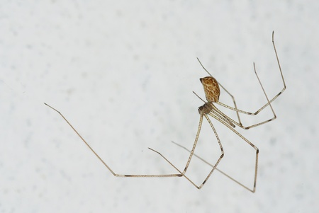 Pholcus sp., a common house spider