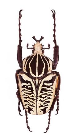 escarabajo: Macho de Goliathus albosignatus aisladas sobre fondo blanco